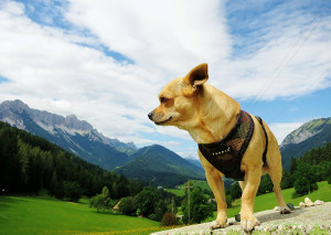 Steckbrief Chihuahua
