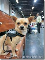 Herbert the Chi auf der Hundeausstellung Wels 2012
