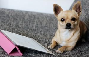 Kontakt Anfragen Chihuahua