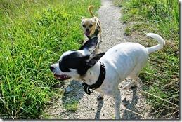 Chihuahua Fun!