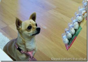 Ein Chihuahua feiert Geburtstag