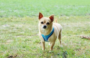 KatiLene Softgeschirr Chihuahua