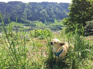 Hund isst Gras